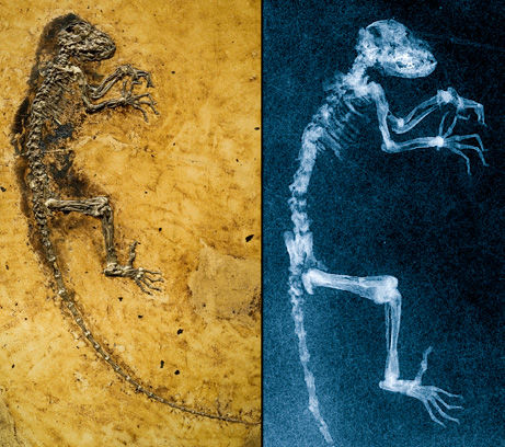 Ida fossil & her x-ray