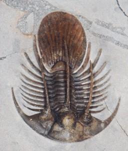 Kolihapeltis (trilobite) fossil