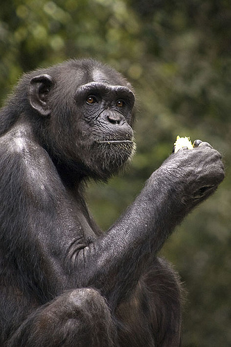 Chimp sitting and eating