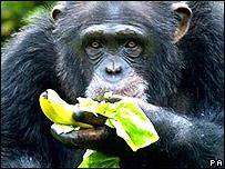 Chimp banana