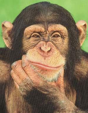 Comtemplative chimp