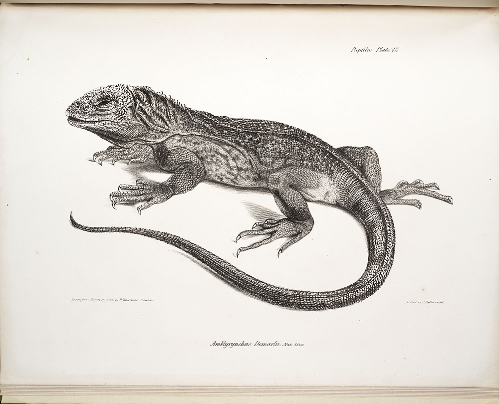 Lizard drawing by Darwin while on H.M.S. Beagle voyage