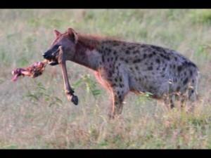 "Hyena w/ ""leftovers"""